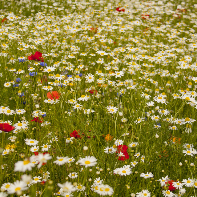 """""""Poppies, Cornflowers, Chamomile and a hint of Marigold"""" stock image"""