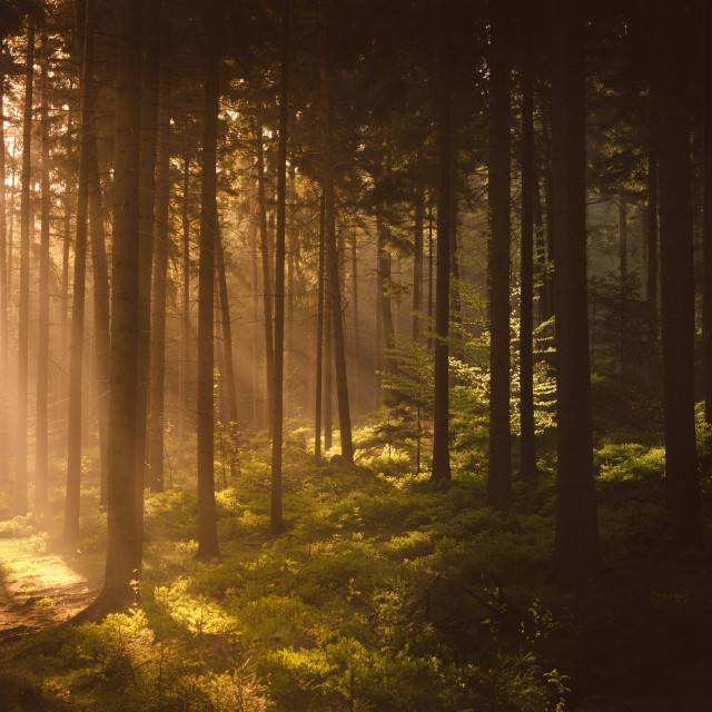"""Morning forest"" stock image"