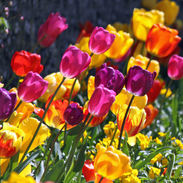 """""""Tulip Spring Happiness"""" stock image"""