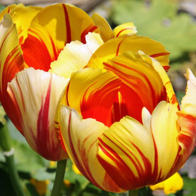 """Tulip Cups"" stock image"