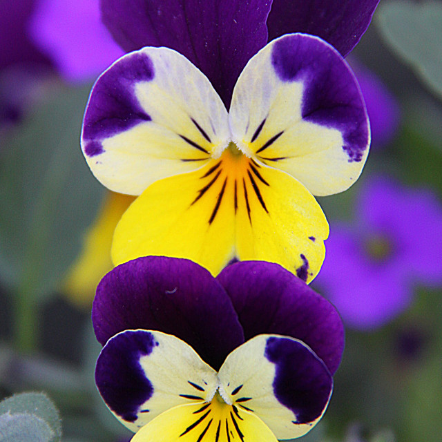 """Three little Violas"" stock image"