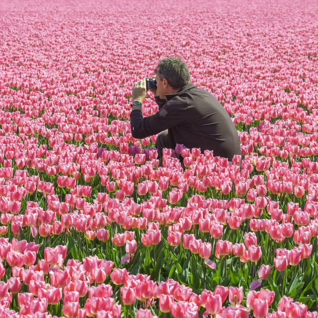 """Man photographing tulips"" stock image"