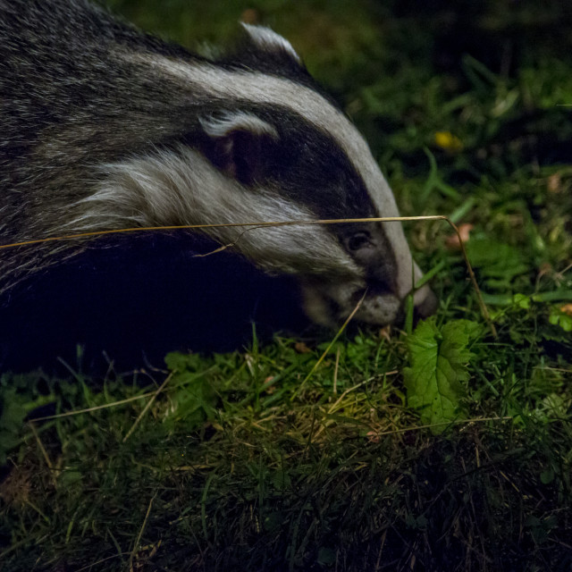 """Badger Eating"" stock image"