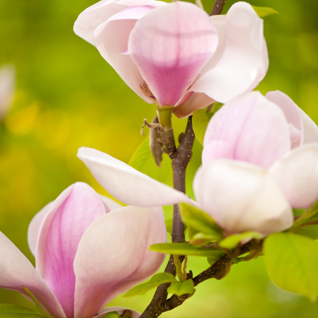 """Pink magnolia new buds"" stock image"
