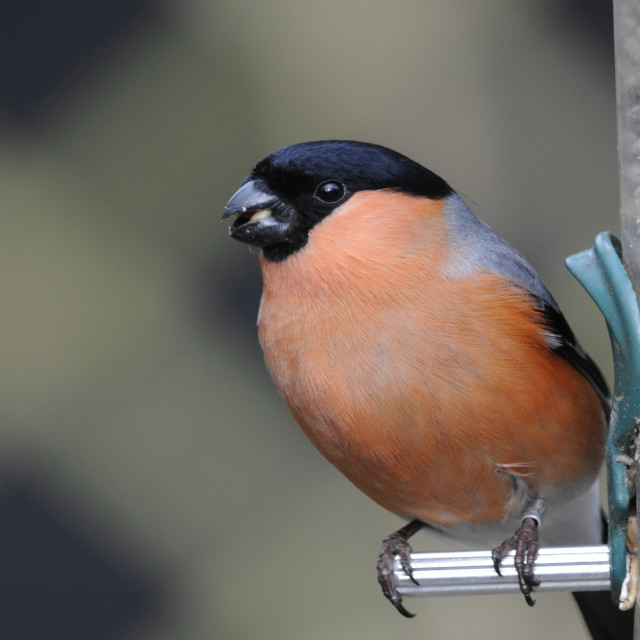 """Male bullfinch"" stock image"
