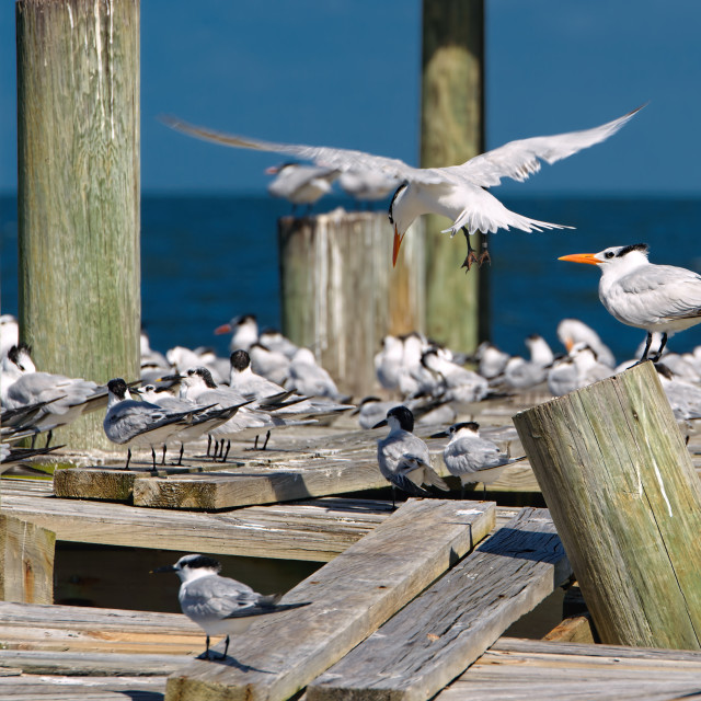 """Terns on a pier"" stock image"