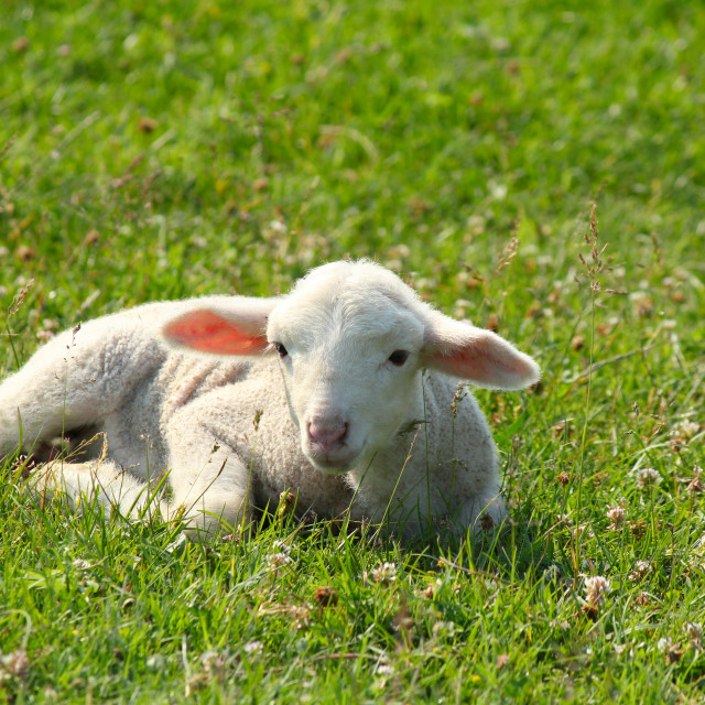 """little white lamb lying in pasture"" stock image"