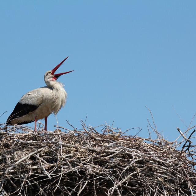 """""""white stork standing in nest"""" stock image"""