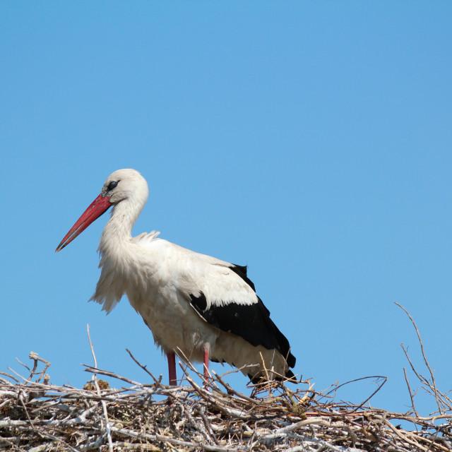 """""""white stork in nest"""" stock image"""
