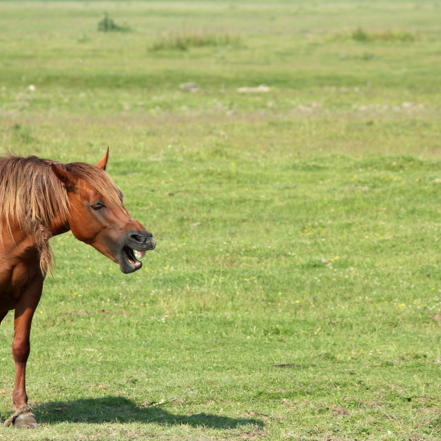 """""""brown horse neigh"""" stock image"""