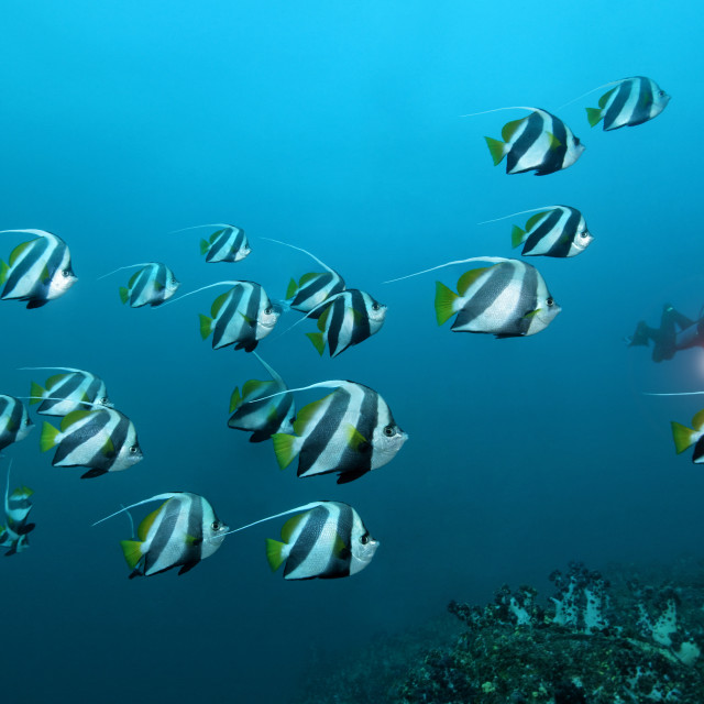 """Schooling bannerfish with diver"" stock image"