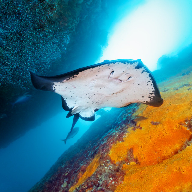 """Stingray swim"" stock image"