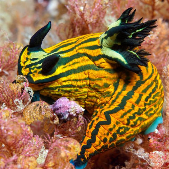 """""""Large nudibranch"""" stock image"""