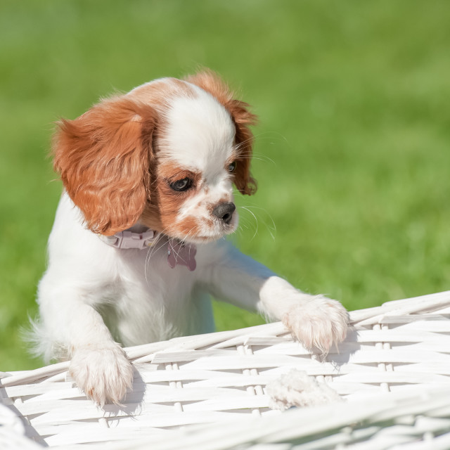 """spaniel puppy"" stock image"