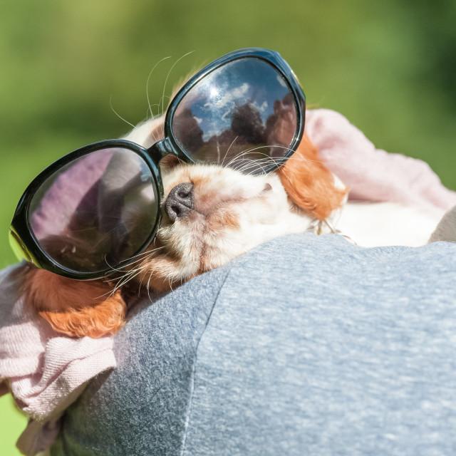 """puppy in sunglasses"" stock image"