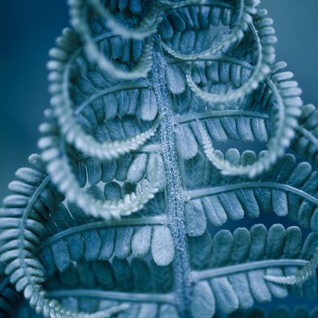 """Twisted fern blue leaf macro"" stock image"
