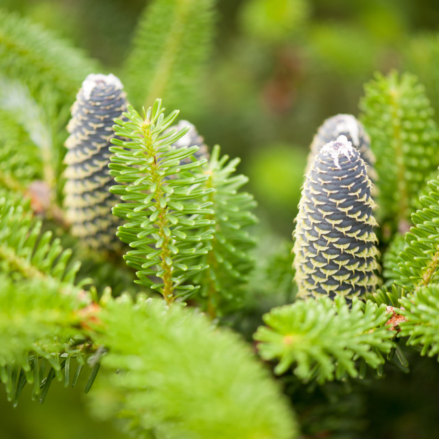 """Fir cones on twig shoots"" stock image"
