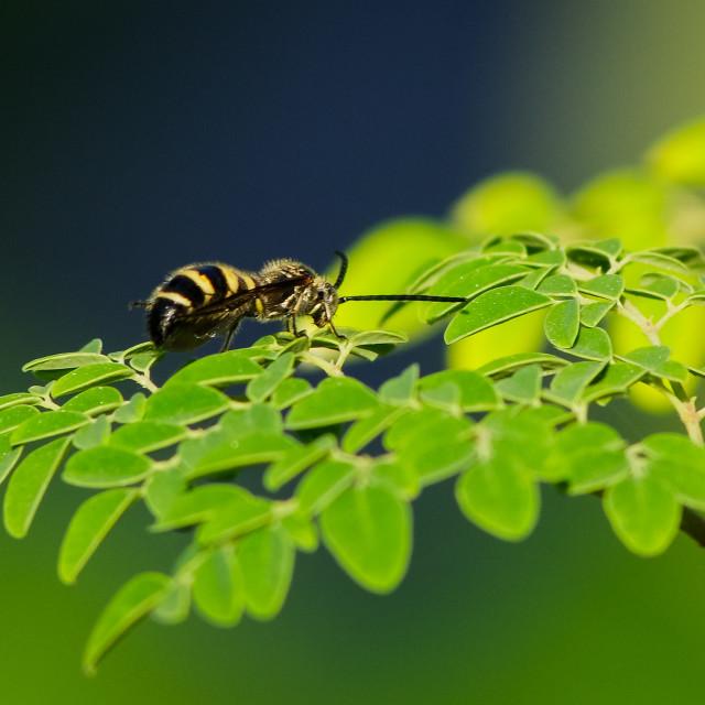 """A bee on moringa oleifera tree branch"" stock image"
