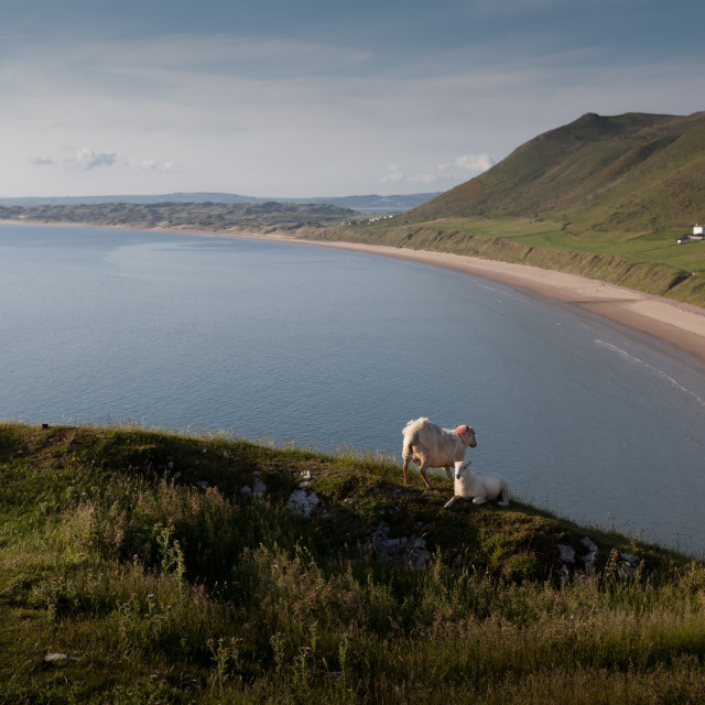 """Lamb and mother at Rhossili bay"" stock image"