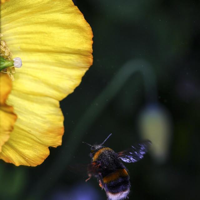 """""""Bee in flight"""" stock image"""