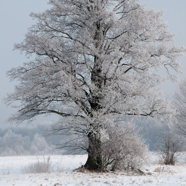 """A beautiful,lonely ,frosted old willow tree in a meadow in winte"" stock image"