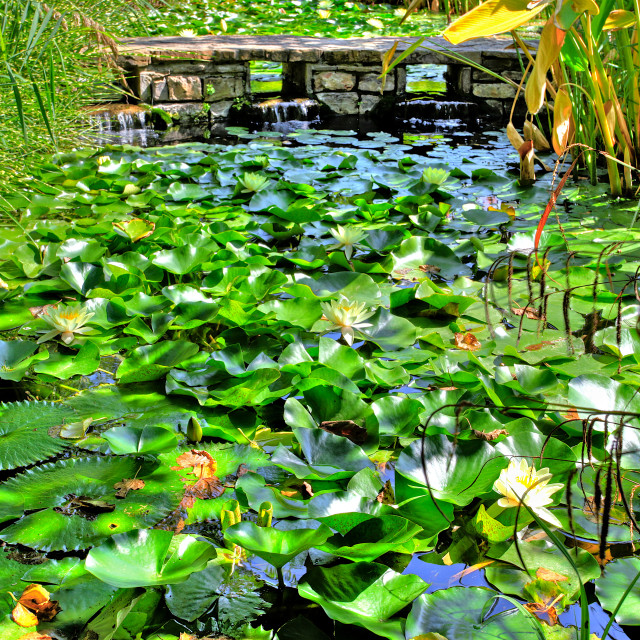 """Lily Pond"" stock image"