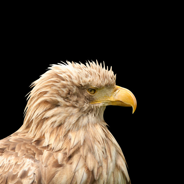 """European white tailed eagle isolated on black"" stock image"