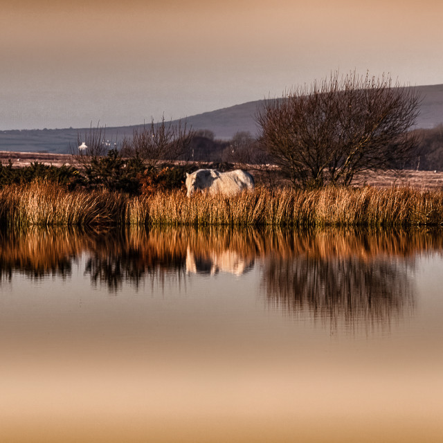 """White horse at Broad Pool"" stock image"