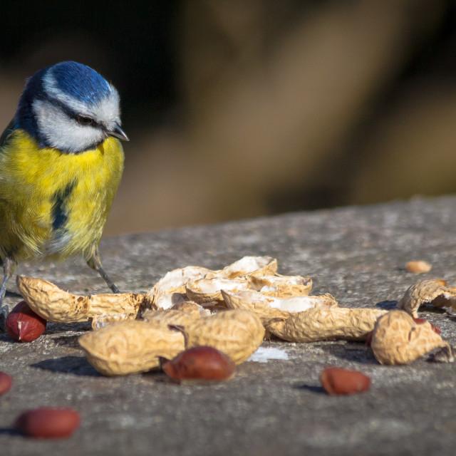 """""""Blue tit feeding"""" stock image"""