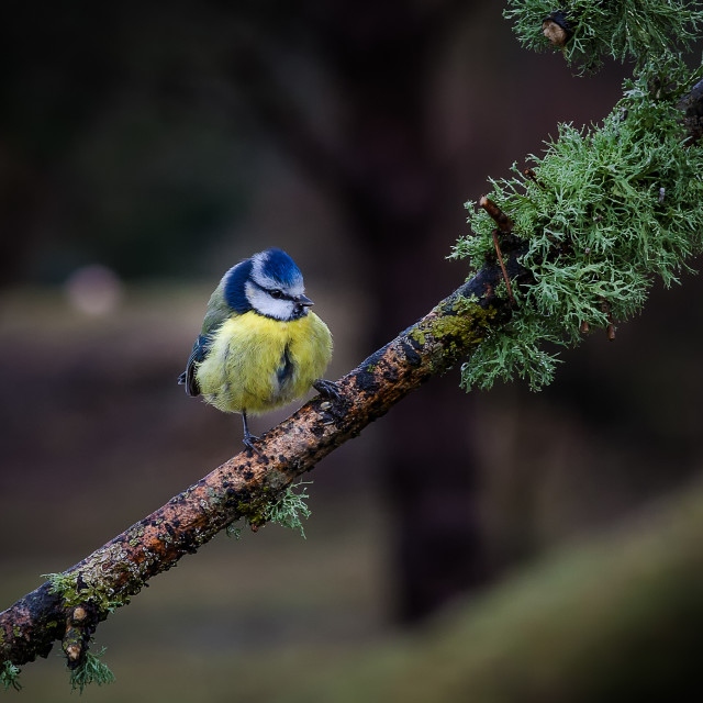 """Blue tit on a branch"" stock image"