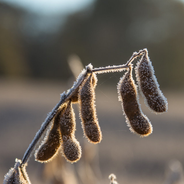 """morning harvest"" stock image"