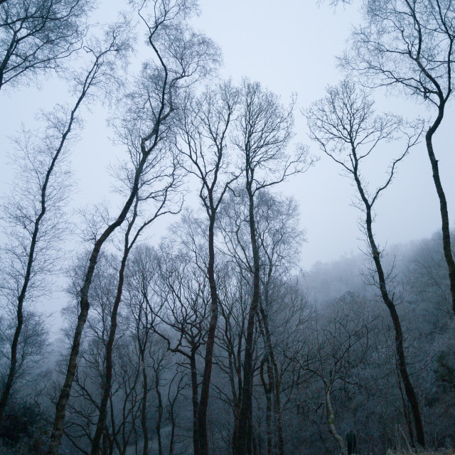 """""""Winter in the wet cold spooky woods with tall scary trees"""" stock image"""