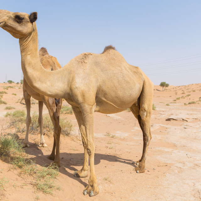 """""""wild camels in the hot dry middle eastern desert uae with blue sky"""" stock image"""