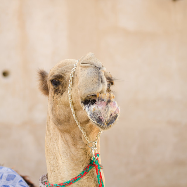"""Arabic Camel keeping cool in the shade chewing food"" stock image"