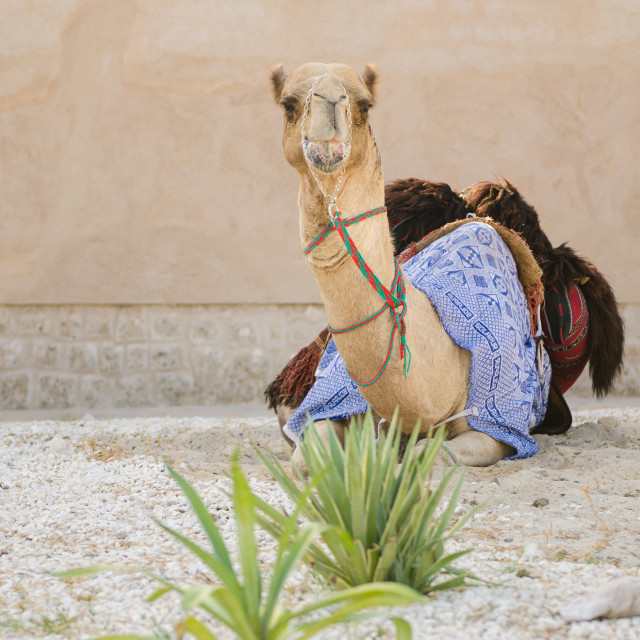 """""""Arabic Camel keeping cool in the shade chewing food"""" stock image"""
