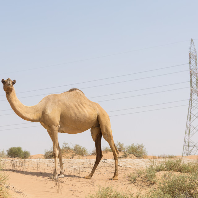 """""""wild camel in the hot dry middle eastern desert uae"""" stock image"""
