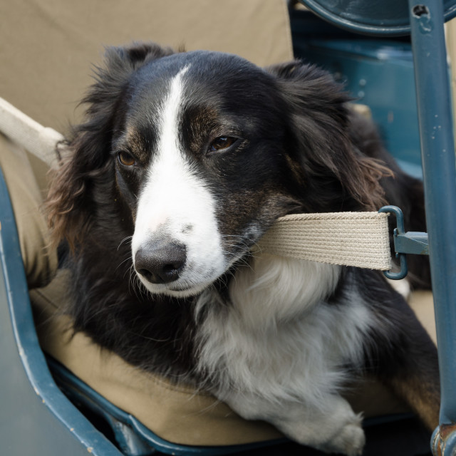 """""""border collie relaxing in a car"""" stock image"""