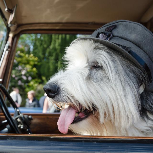 """old english sheep dog wearing a world war cap sitting in a vintage car"" stock image"