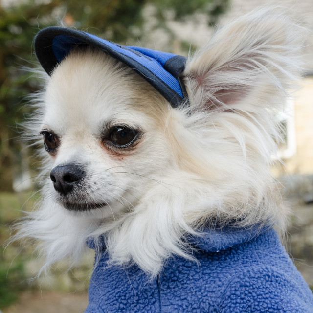 """""""Chihuahua dressed in a blue fleece uniform"""" stock image"""