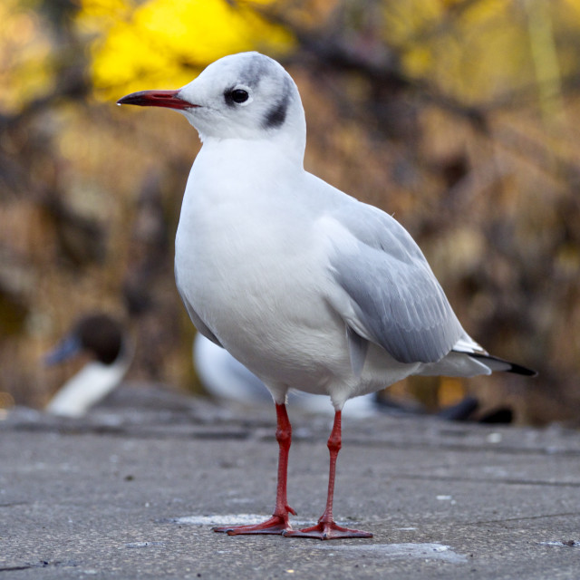 """Black-headed gull at Ueno, tokyo, japan"" stock image"