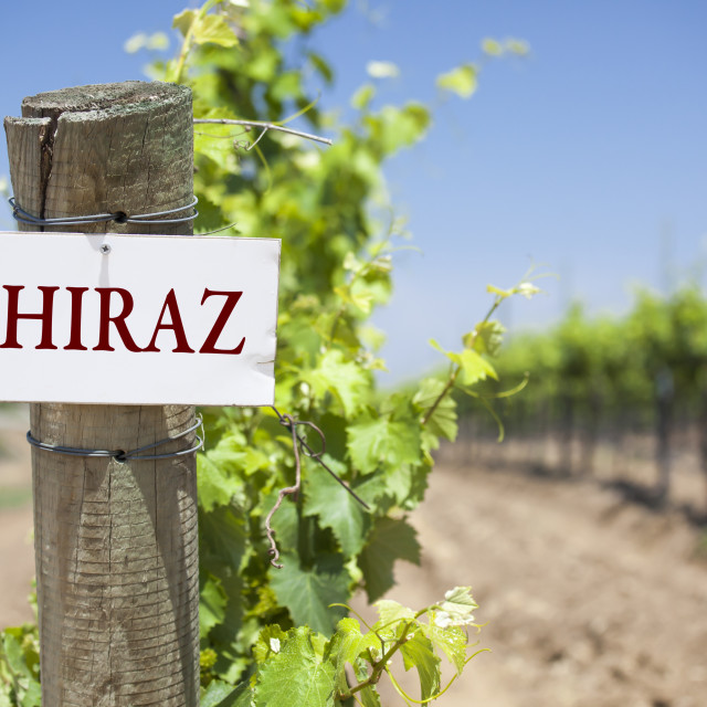 """""""Shiraz Sign On Post at the End of a Vineyard Row of Grapes."""" stock image"""