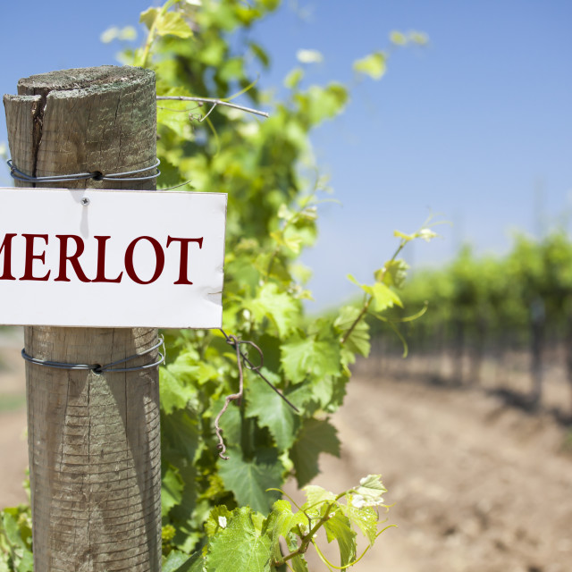 """""""Merlot Sign On Post at the End of a Vineyard Row of Grapes."""" stock image"""
