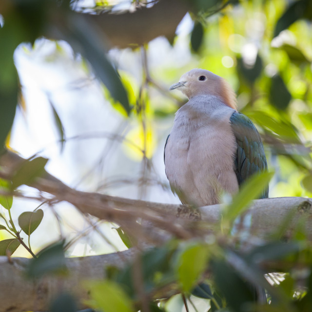 """""""Sulawesi Green Imperial-pigeon of Indonesia in the Tree."""" stock image"""