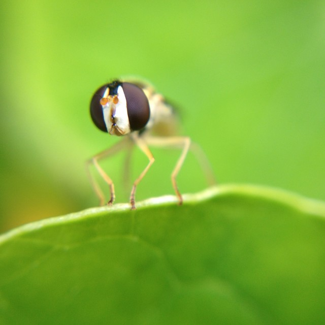 """Hoverfly on a leaf"" stock image"
