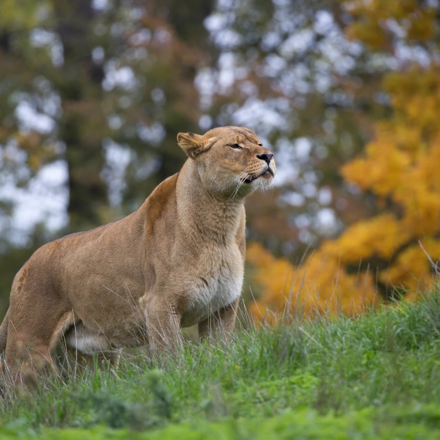 """""""Lioness in the wild"""" stock image"""