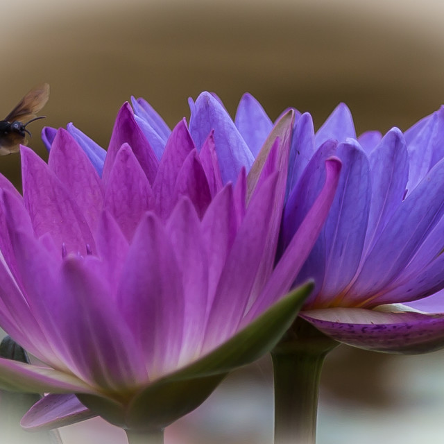 """""""Lotus and bee"""" stock image"""