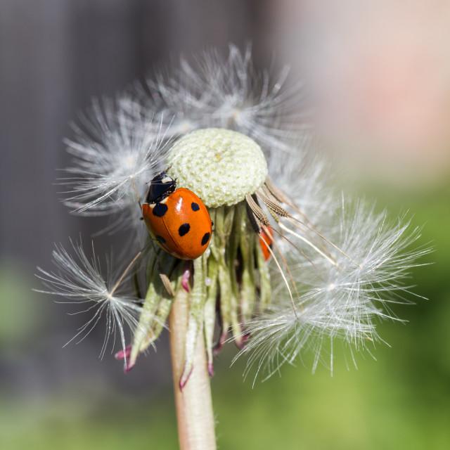 """Ladybug in dandelion I"" stock image"