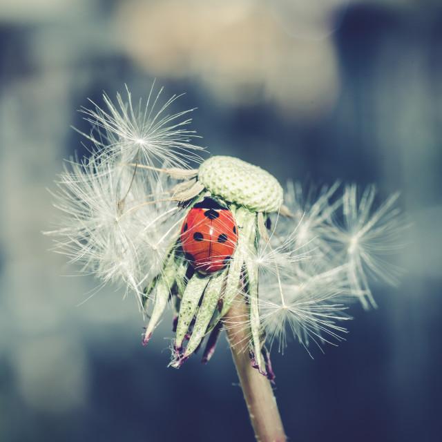 """""""Ladybug in dandelion III"""" stock image"""