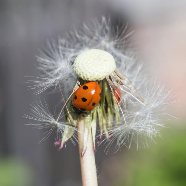 """""""Ladybug in dandelion II"""" stock image"""
