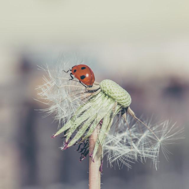"""Ladybug in dandelion"" stock image"